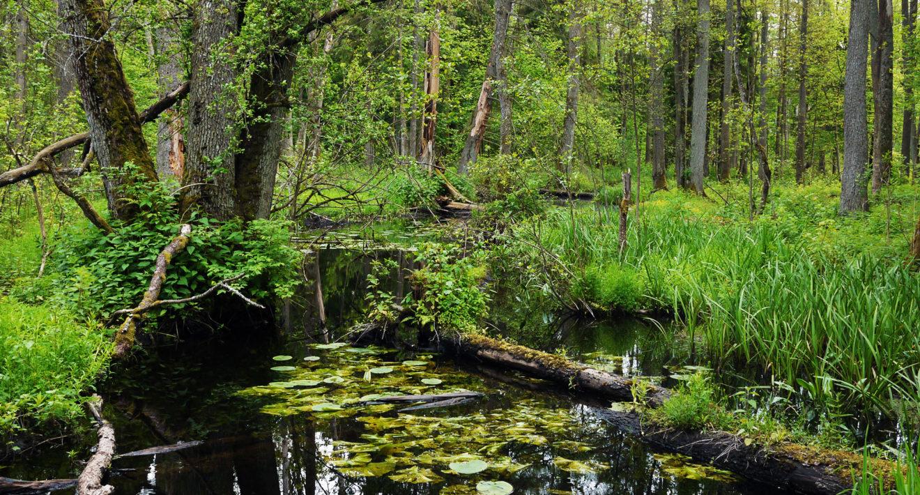 Le gouvernement polonais est une menace pour la forêt de Bialowieza
