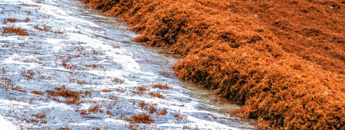 Problème des algues sargasses en Guadeloupe et Martinique : nous interpellons le gouvernement