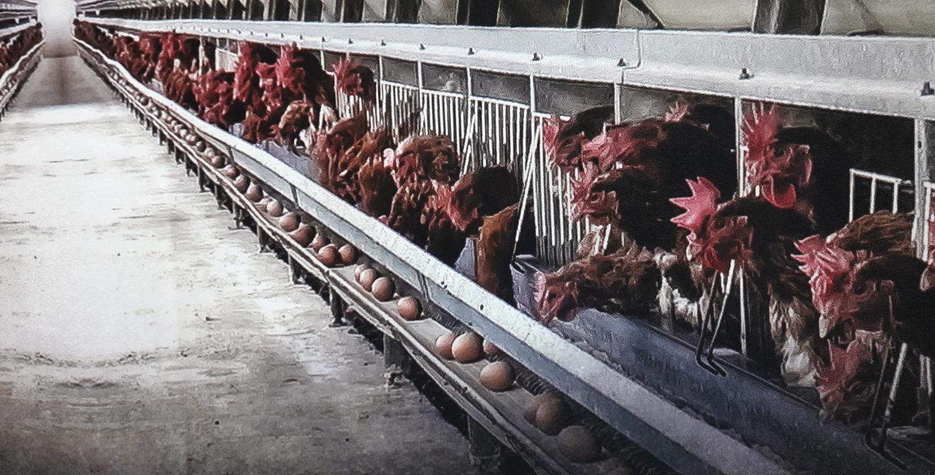 Vers la fin des cages en Europe : se mobiliser pour en finir avec l'insupportable souffrance animale