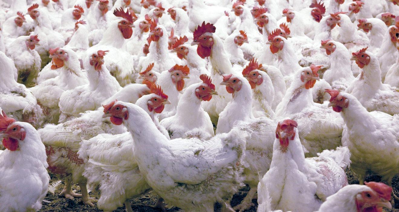Le Parlement européen souhaite modifier l'élevage des poulets et mieux informer les consommateurs